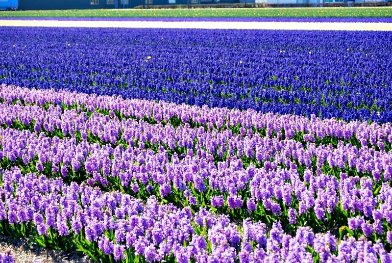 Seeing flower fields in Holland